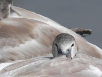 A photo of Cygnet