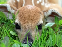 Photo of Friendly Fawn